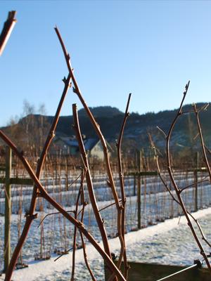 Bringebær rekke på vinteren